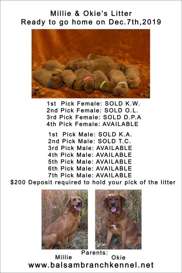 fox red lab puppies for sale wi-5days