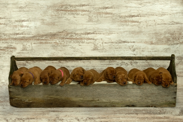 Fox Red Lab Puppies for Sale WI12wk
