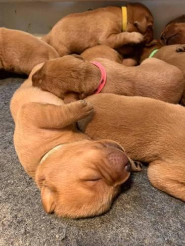 Fox Red Lab Puppies For Sale Balsam Branch Kennel Millie Okie 2019 10
