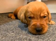 Fox Red Lab Puppies For Sale Balsam Branch Kennel Millie Okie 2019 11