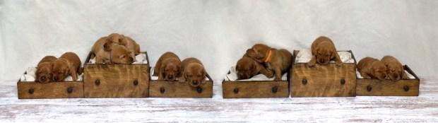 Fox Red Lab Puppies For Sale Balsam Branch Kennel Millie Okie 2019 12