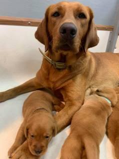 Fox Red Lab Puppies For Sale Balsam Branch Kennel Millie Okie 2019 13
