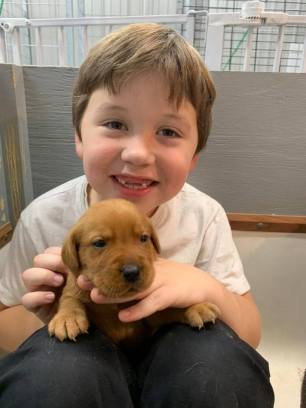 Fox Red Lab Puppies For Sale Balsam Branch Kennel Millie Okie 2019 15