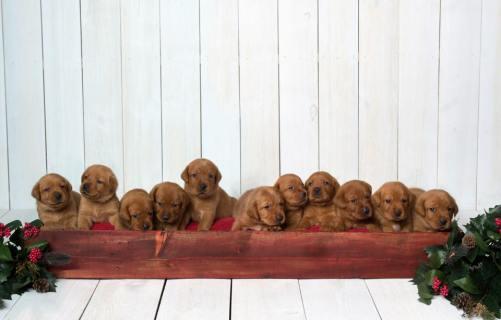 Fox Red Lab Puppies For Sale Balsam Branch Kennel Millie Okie 2019 16
