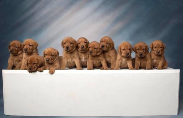 Fox Red Lab Puppies For Sale Balsam Branch Kennel Millie Okie 2019 17