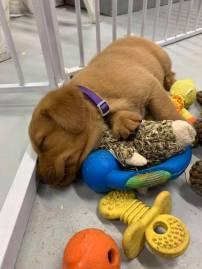 Fox Red Lab Puppies For Sale Balsam Branch Kennel Millie Okie 2019 18