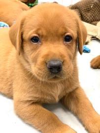 Fox Red Lab Puppies For Sale Balsam Branch Kennel Millie Okie 2019 19