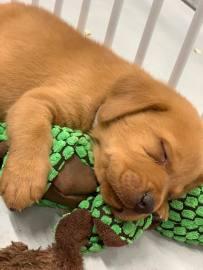 Fox Red Lab Puppies For Sale Balsam Branch Kennel Millie Okie 2019 20