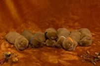 Fox Red Lab Puppies For Sale Balsam Branch Kennel Millie Okie 2019 8