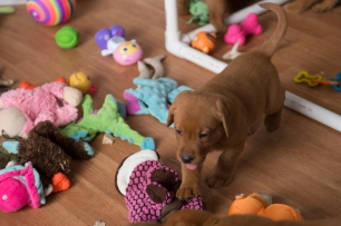 Fox Red Lab Puppies for Sale WI-1