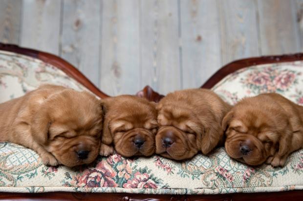 Fox Red Lab Puppies for Sale WI-2