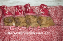 Fox Red Lab Puppies for Sale WI-2psd