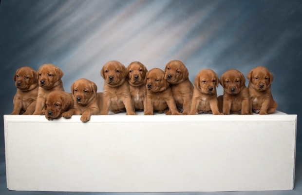 Fox Red Lab Puppies for Sale WI-4wk