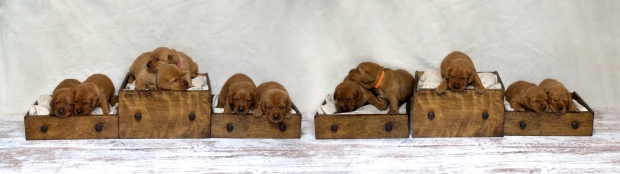 fox red lab puppies for sale wi2.5