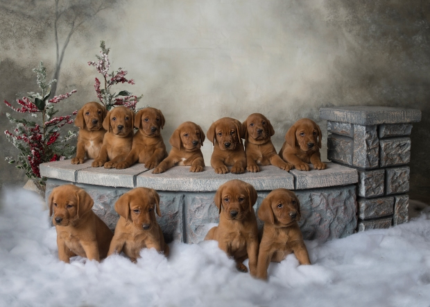 Fox Red Lab Puppies for Sale WI-7weeks