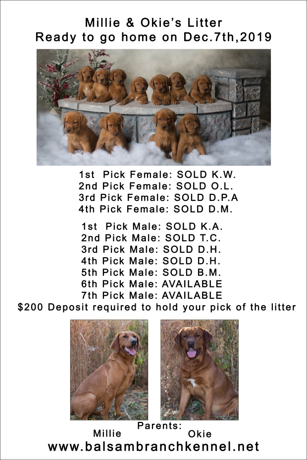fox red lab puppies for sale wi-7wk