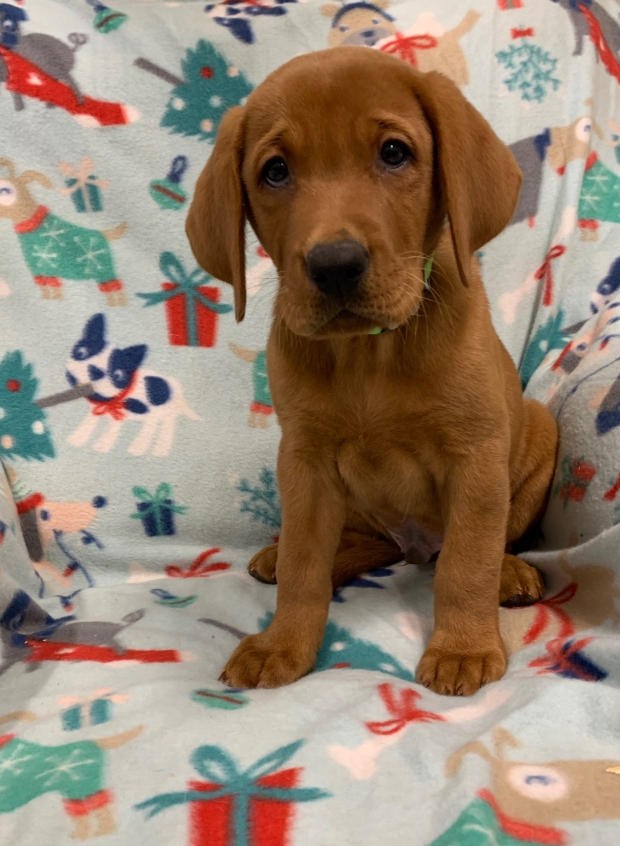 Fox Red Lab Puppies for Sale WI-G1