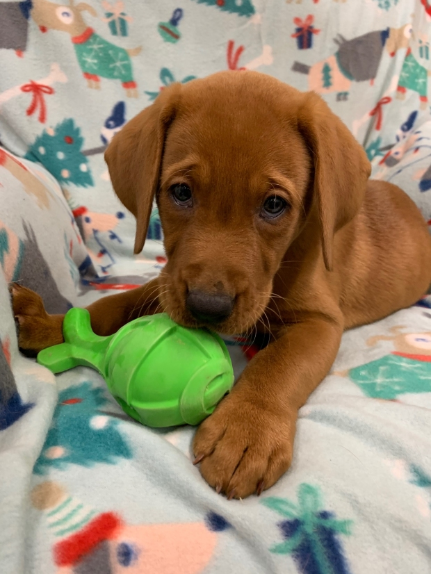 Fox Red Lab Puppies for Sale WI-G2