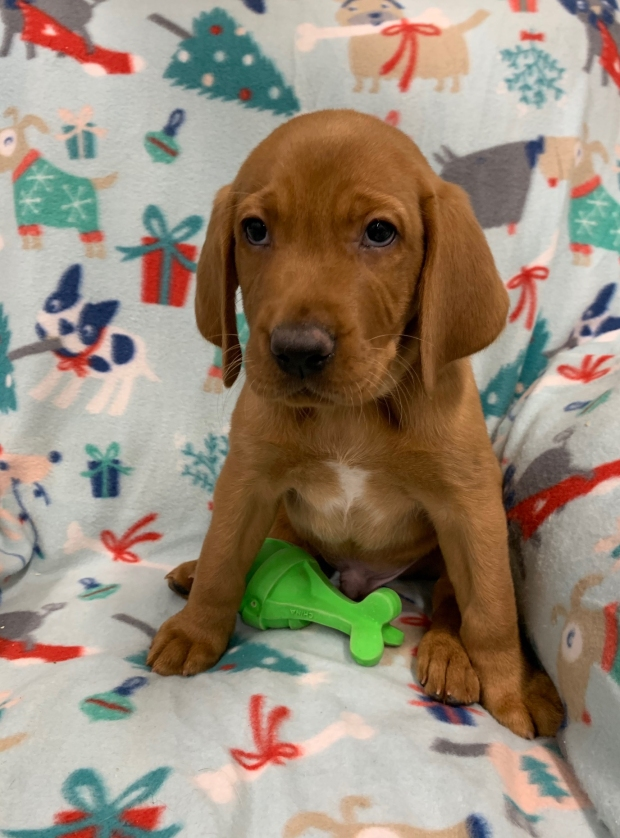 Fox Red Lab Puppies for Sale WI-O1