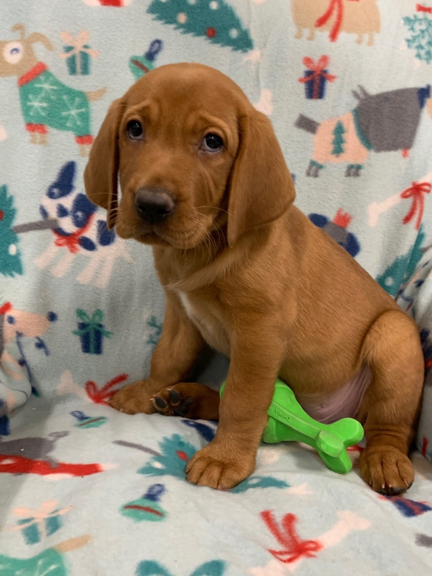 Fox Red Lab Puppies for Sale WI-O2