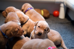 Fox Red Lab Puppies for Sale WI-10