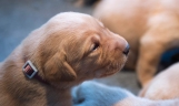 Fox Red Lab Puppies for Sale WI-12