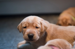 Fox Red Lab Puppies for Sale WI-13