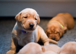 Fox Red Lab Puppies for Sale WI-14