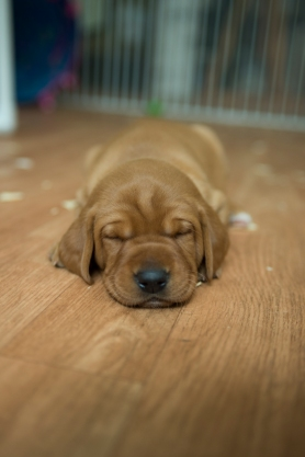 Fox Red Lab Puppies for Sale WI-3