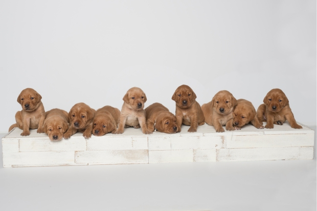 Fox Red Lab Puppies for Sale WI-3wk