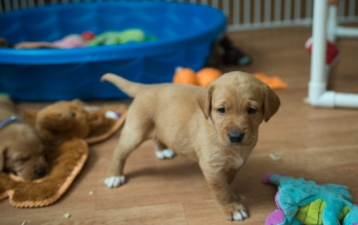 Fox Red Lab Puppies for Sale WI-4