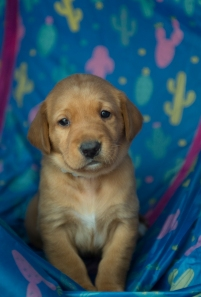Fox Red Lab Puppies for Sale WI-8