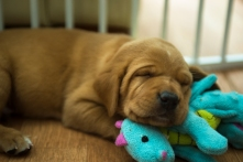 Fox Red Lab Puppies for Sale WI-9