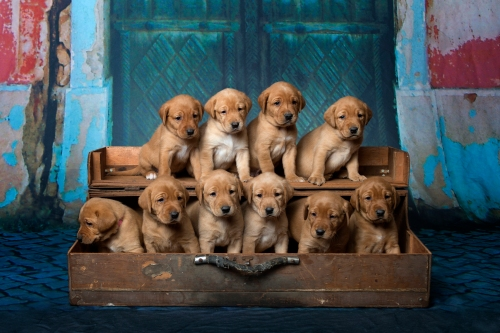 Fox Red Lab Puppies for Sale WI4