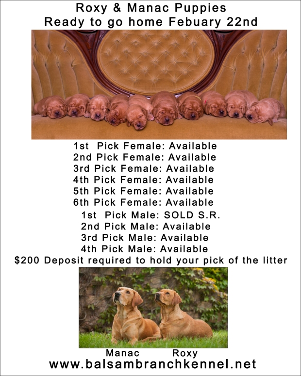 Roxy & Manac fox red labs puppies for sale
