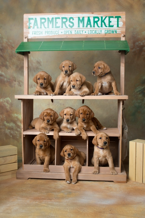 Fox Red Lab Puppies for Sale WI-5wk
