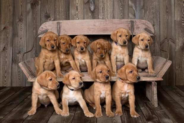 Fox Red Lab Puppies for Sale WI6wk
