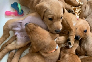 Fox Red Lab Puppies for Sale Wisconsin Balsam Branch Kennel