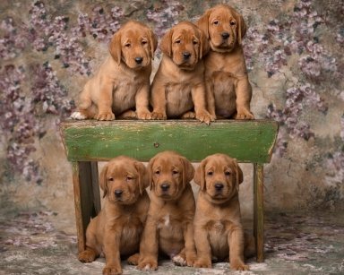 Fox Red Lab Puppies for Sale WI-6w