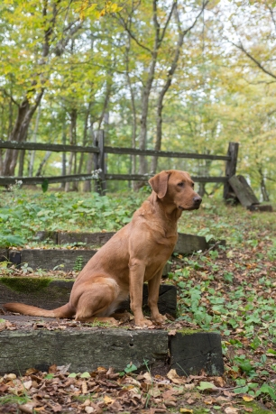Fox Red Lab Puppies for Sale WI-11