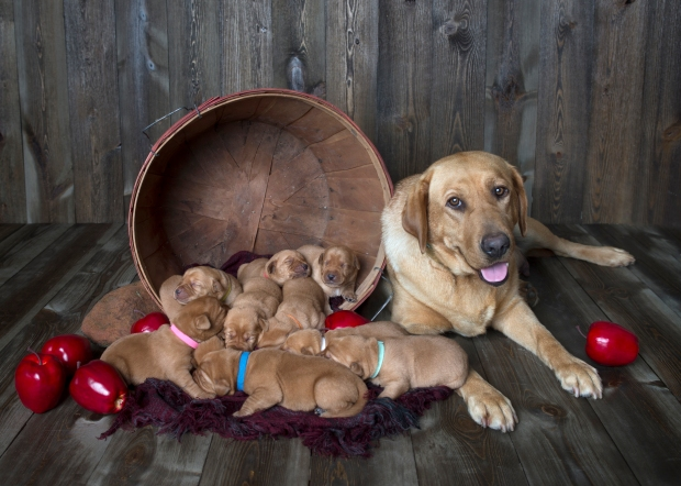 Fox Red Lab Puppies for Sale WI-1wk