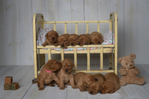 Fox Red Lab Puppies for Sale WI-3.5