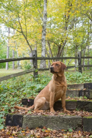fox-red-lab-puppies-for-sale-wi-5
