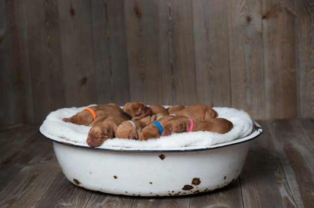 Fox Red Lab Puppies for Sale WI