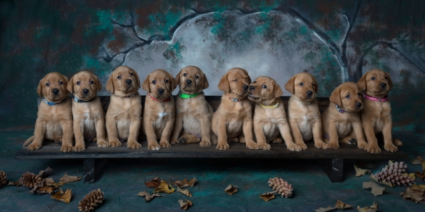 Fox Red Lab Puppies for Sale WI-5