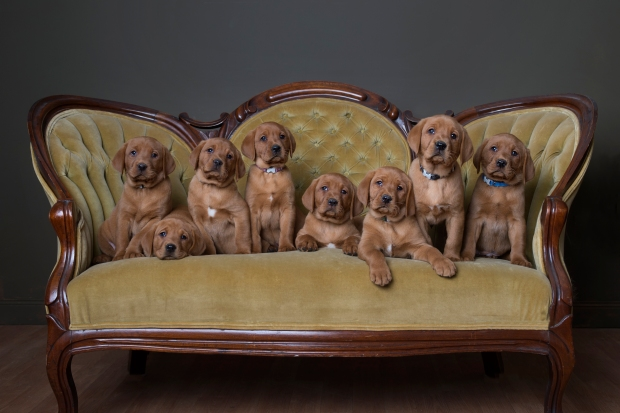 Fox Red Lab Puppies for Sale WI-7