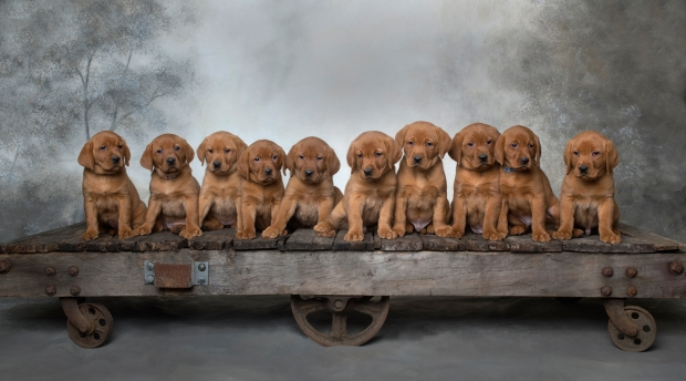Fox Red Lab Puppies for Sale WI7