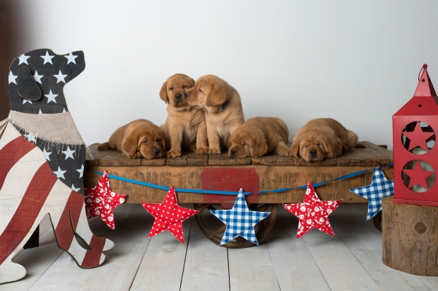 Fox Red Lab Puppies for Sale WI-6