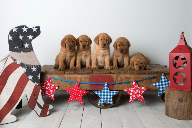 Fox Red Lab Puppies for Sale WI4w
