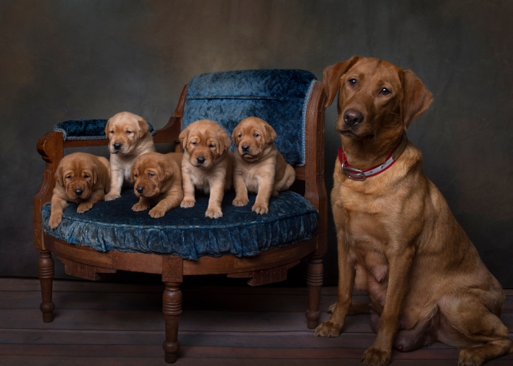 Fox Red Lab Puppies for Sale WI-3w